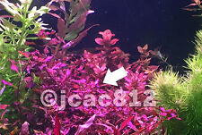 Ludwigia sp 'Super Red' Live Aquarium Aquatic Plant Plants -Individual