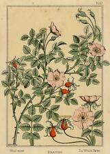 Art Nouveau Eglantier La Plante Maurice P Verneuil Grasset Lithographie 19e