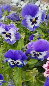 Stiefmütterchen * Nr.2 * Violaceae * 20 * Blumensamen * handverlesen