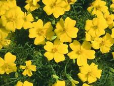 MARIGOLD TAGETES LEMON GEM 0.5 GRAM ~ APPROX 650 FINEST SEEDS