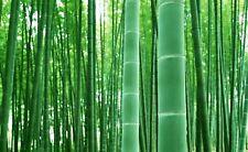 Rare Fresh Giant Bamboo Seeds - Grow Giant Bamboo - Ships from Iowa, Usa