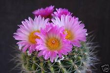 Notocactus herteri @ parodia rare cactus cacti 25 SEEDS