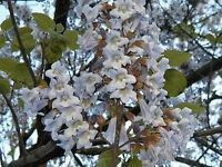 empress tree, ROYAL EMPRESS POULOWNIA, 80 Seeds! groco US USA*