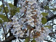 empress tree, ROYAL EMPRESS POULOWNIA, 80 Seeds! groco*