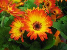 Gerbera Daisy Seeds - BURNING DESIRE - Excellent for Arrangements -50 Seeds