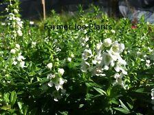 """ANGELONIA - SERENITA - WHITE - 4 LIVE PLANTS - 3"""" POTS"""