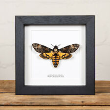 Deaths Head Hawk Moth in Black or White Box Frame (Acherontia atropos) Taxidermy