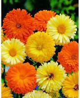 Calendula Pacific Beauty Seeds Mix, Pot Marigold, Variety Sizes, FREE SHIPPING