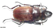 Coleoptera Lucanidae Odontolabis dalmani Indonesia Sumatra male 64mm