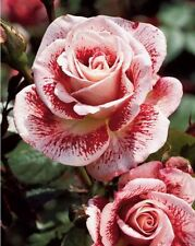 Free Shipping Pink and Red Roses Flower Seeds 30 Garden Rose Home Decor NEW