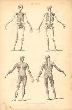 1874 PRINT ~ ANATOMY ~ MALE FORM SKELETON MUSCLE FRONT & BACK BONES SKULL