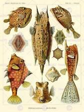 NATURE ART FISH OSTRACIONTES ERNST HAECKEL BIOLOGY GERMANY VINTAGE POSTER 875PY