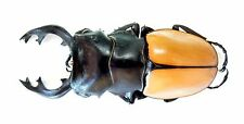 Lucanidae Beetle