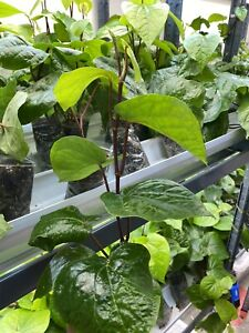 Paan Piper Betel Plant, Paan pata plant, healthy well rooted one plants UK