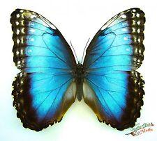 Blue morpho butterfly morpho helenor carillensis costa rica SET x1 TS A1 FM art