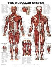 (LAMINATED) Muscular System POSTER (66x51cm) Anatomical Chart Human Body Anatomy