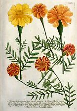 Grabado koloriert 1742-estudiantes flores Tagetes indica-Weinmann
