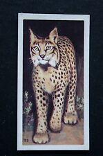Spanish Lynx    Iberian Lynx    Vintage Colour Card