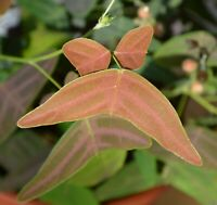 Christia vespertilionis - 10 Samen - botanische Rarität - very rare plant