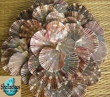 "50 BABY FLAT PECTEN SEA SHELLS - 1"" UP TO 1-3/4"" WIDE - CRAFTING SHELLS"