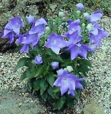 Ballon Blume Pflanzen Duftsträucher Duftstauden für den Balkon Garten winterhart