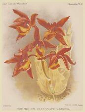 COGNIAUX GOOSSENS MORMODES BUCCINATOR ORCHIDEA ORCHIDS ORCHIDEES 1800 ORCHID