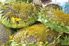 50 Giant Titan Sunflower Seeds Huge 24 inch Heads Fat Seeds