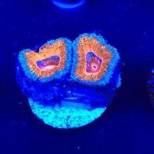 Ultra OrangeAcan WYSIWYG Coral saltwater reef tank Reefkingdom Orange