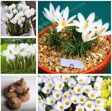 True White Crocus Saffron Bulbs,Iran Saffron,(Not Saffron Seed),Flower Bulbs