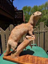 Taxidermy Full Mount blond Winter Mink Weasel Standing on Wood