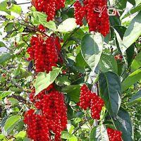 Schisandra Chinensis 300 Seeds - 5 Flavor Cherry (wu-wei-zi), Magnolia Vine