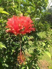 Hibiscus Chinese Lantern