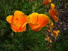 100 Samen Kalifornischer Mohn orange Eschscholzia californica Goldmohn