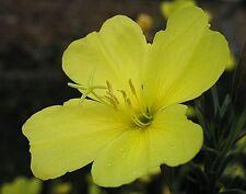 Nachtkerze 500 Samen Oenothera Abendblume Sommerstern Großpackung gelb Heilpfl.