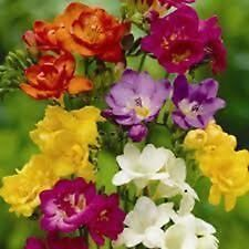 Freesia - Royal Crown Mixed - 15 Seeds