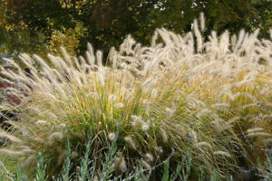 PENNISETUM ALOPECUROIDES CHINESE FOUNTAIN GRASS GARDEN CONTAINER PLANT