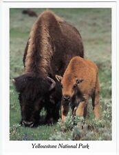 Postcard Bison Mom with Growing Calf Yellowstone National Park Wyoming WY
