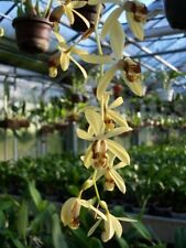1 blühfähige Orchidee der Sorte: Coelogyne massangeana, 14cm Topf