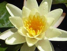 Lotus Lotos - gelb - 3 Samen