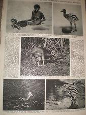 Photo article the Cassowary bird of Northern Queensland Australia 1955 ref Z