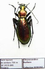 Carabus chrysocarabus rutilans (male A1) from FRANCE