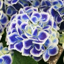 More details for t&m hydrangea bavaria garden patio flowering hardy shrub 10.5cm potted plants