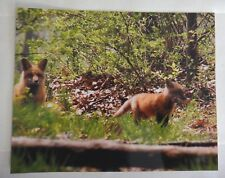 Adorable and amazing Red Fox playing with stick 8x10 photo, Wildlife Photography