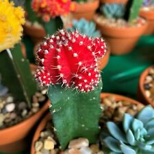 Cactus Unique exotic color Living Plant -Holidays SALE OFFER 50% off-