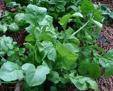 500 Seeds Arugula Roquette / Rocket Heirloom wholesale Healthy herb nutty flavor
