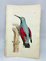 Wall Creeper - 1783 RARE SHAW & NODDER Hand Colored Copper Engraving