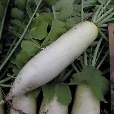 Radish - White Icicle (raphanus sativus) 50 Reliable Viable Seeds