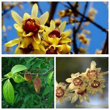 10 Chimonanthus praecox Shrub Seeds Wintersweet IceFlower Fragrant Lovely Bonsai
