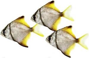 Moonfish Mono Argentus 2 inch (Brackish and Marine Compatible)