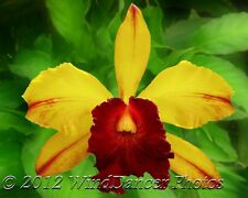 Orchid Photo, Yellow & Red Cattleya Orchid, Fine Art Photo, 8 x 10 Matted Photo